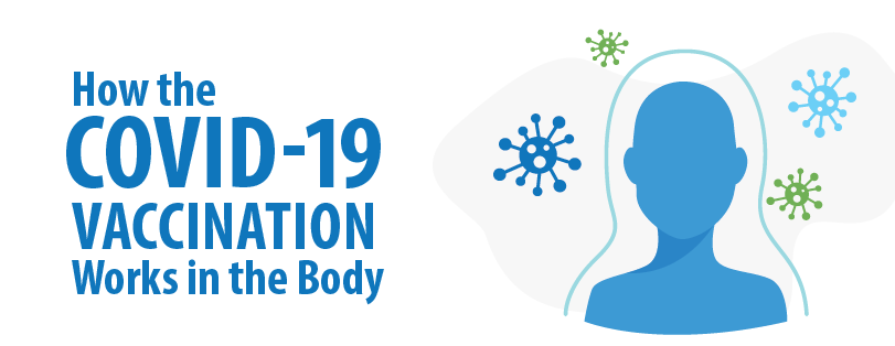 how does the covid-19 vaccination work in the body?